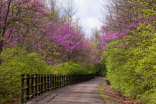 redbuds along the cardinal greenway