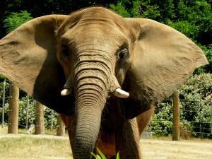 African Elephant zoo