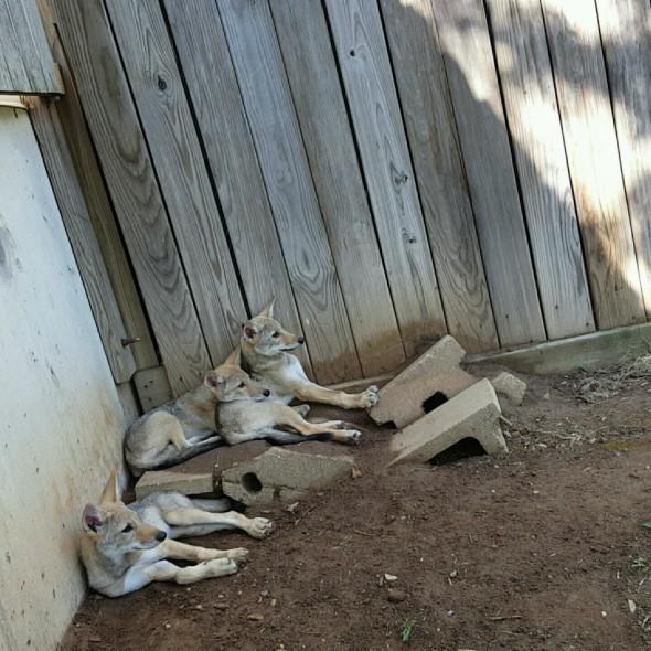 coyote pups